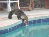 Wildlife, jungle Coatimundi drinking from the pool at Rancho Armadillo Costa Rica_hotels_ resorts_ rancho armadillo_ beach_ playas del coco_ adventure inns of costa rica_costa rica airfares_costa rica car rentals_costa rica trip advisor_guanacsate_rancho armadillo_costa rica tours?costa rica surfing_costa rica fishing_costa rica volcanoes_